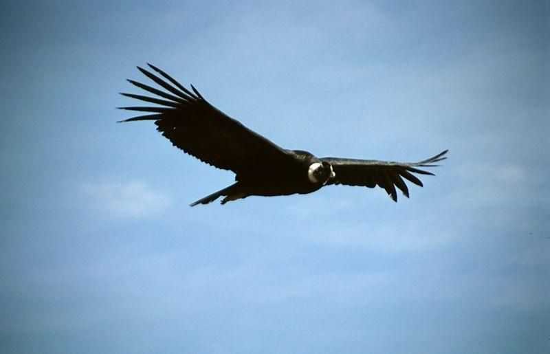 Condor sobre el Colca