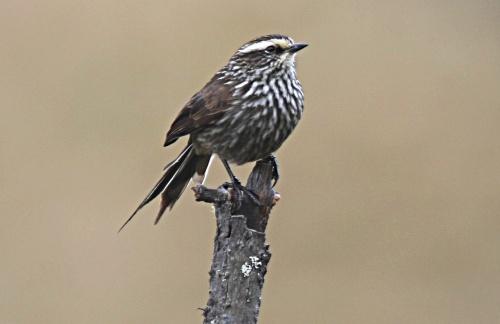 Observacion de aves en Peru