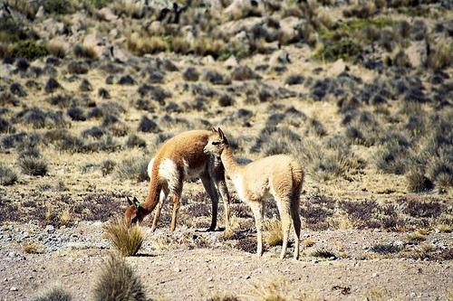 Alpacas en Salinas y Aguada Blanca