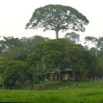 El Árbol de la Lupuna en la Selva Amazónica