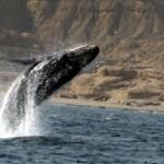 Ballenas y termas en la costa de Talara