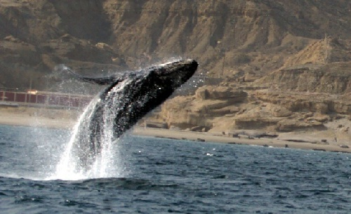 Ballenas en Talara