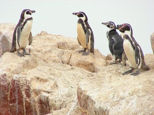 Pinguinos en las Islas Ballestas