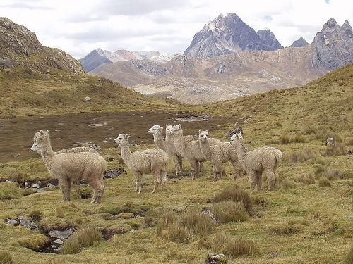 Alpacas en la Cordillera Huayhuash
