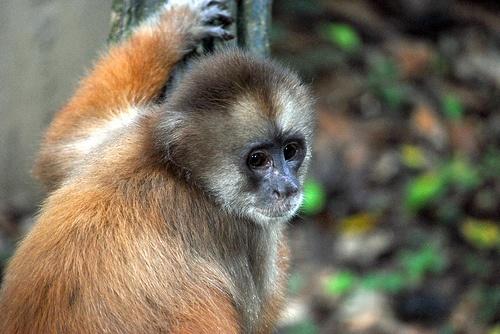 Mono Capuchino en el Amazonas