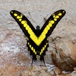 Granja de mariposas Pilipintuwasi en Iquitos