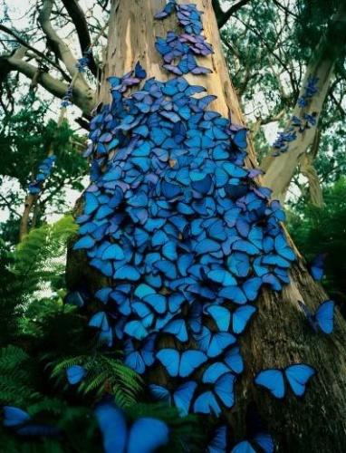 Mariposas azules de Peru