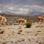 Parque de vicuñas de Pampa Galeras