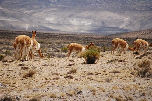 Vicuñas Pampa Galeras