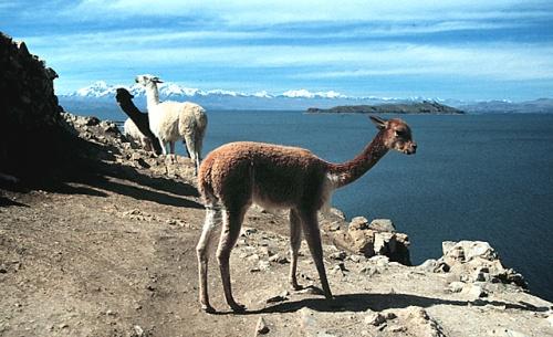 Vicuñas de Chacamarca